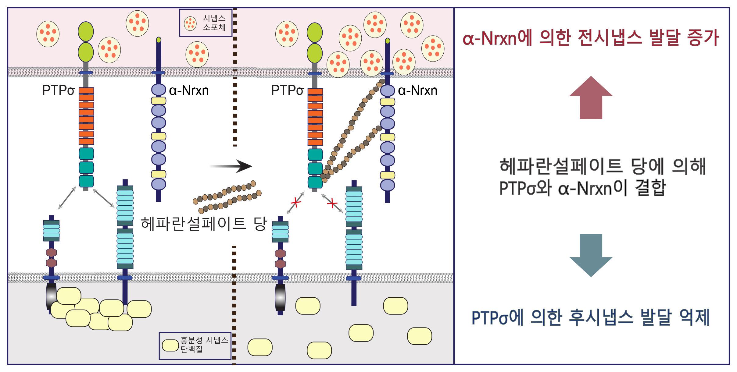 뇌 시냅스 발달에 기여하는 핵심 단백질 메커니즘 규명 이미지2
