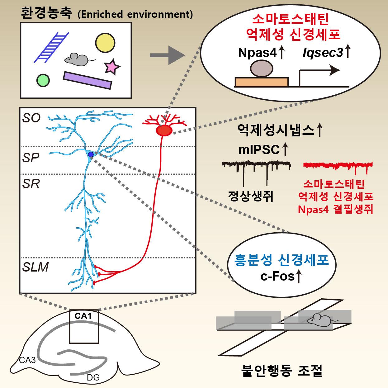 불안행동을 조절하는 뇌 속 시냅스 단백질의 작동 원리 규명 이미지2